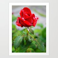 rose with raindrops  Art Print