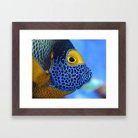 Blue-faced Angelfish Framed Art Print