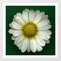 Single White Chrysanthem… Art Print