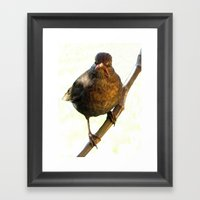 Female Blackbird (Turdus… Framed Art Print
