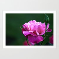 Fine Art Photography - Flowers - Botanical Art - Orange, Peach, Coral, Purple Rose Photograph Art Print