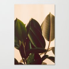 Rubber Plant White Background Canvas Print