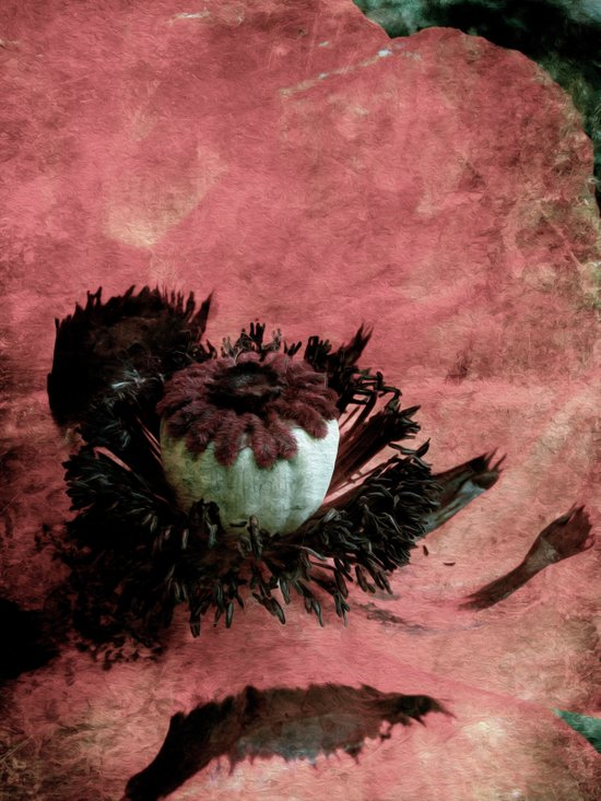 tarantula poppy {no.2 Art Print