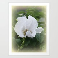 Hedge Rose Art Print