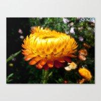 Xerochrysum Bracteatum, … Canvas Print