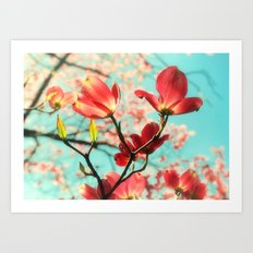 Spring dogwood blossoms Art Print