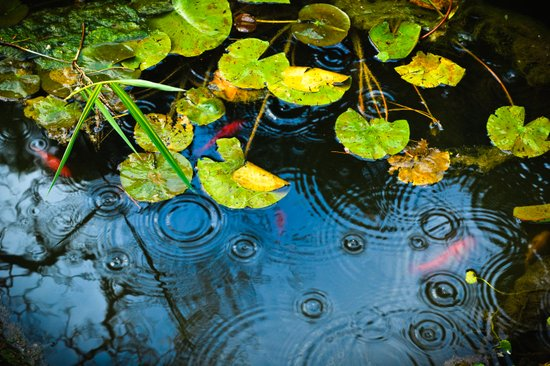 Lily pads, ripples and gold fish Art Print