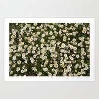 Sea daisies at the mountains Art Print