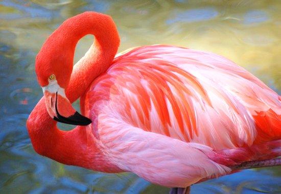 Caribbean Flamingo Art Print
