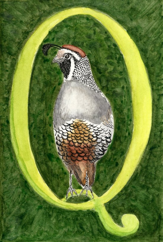 Q is for Quail Art Print