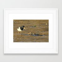 Oystercatcher (Haematopus) Framed Art Print