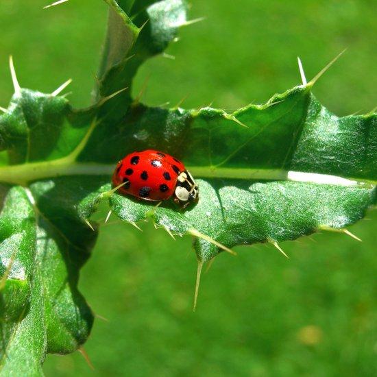 ladybug III Canvas Print