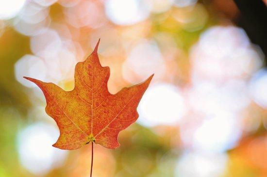 Maple leaf bokeh Art Print