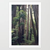 The Redwoods at Muir Woods Art Print