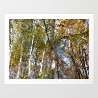 Birch Trees in Autumn Art Print