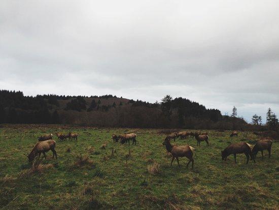 Elk near Orick, Ca Art Print