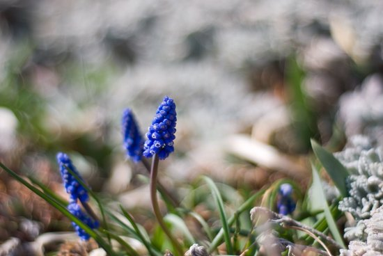 Grape Hyacinth II Art Print