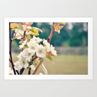 Pear Blossoms Art Print