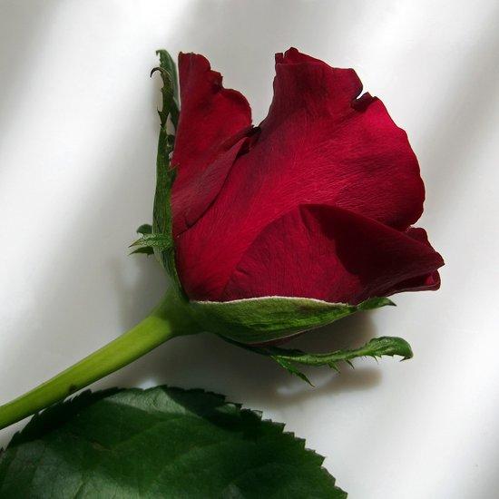 red rose IV Art Print