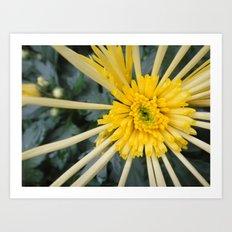 Chrysanthemum Art Print