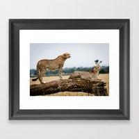 Cheetahs Framed Art Print
