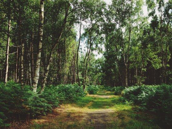 Sunlight on footpath through woodland. Norfolk, UK. Art Print
