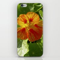 nasturtium bloom XI iPhone & iPod Skin