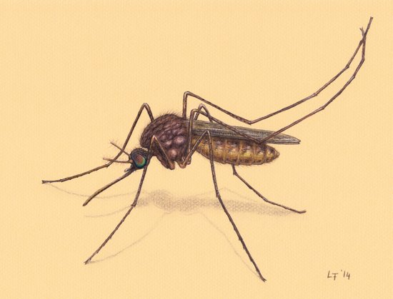 Mosquito by Lars Furtwaengler | Colored Pencil / Pastel Pencil | 2014 Art Print