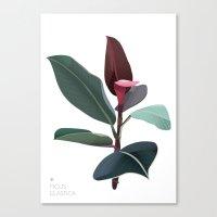 Ficus Elastica Canvas Print