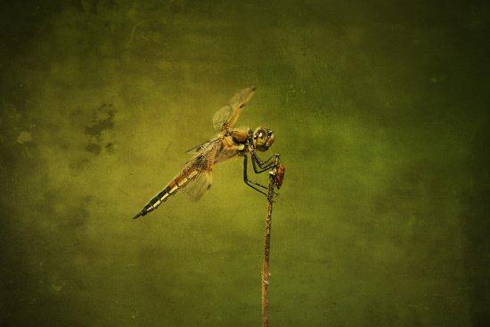 4-Spotted Skimmer Dragonfly Art Print