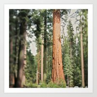 Giant Sequoia Art Print