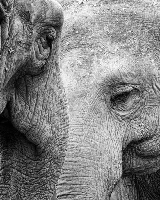 A pair of Pachyderms Canvas Print