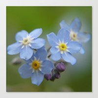 Close-up Forget Me Not -… Canvas Print