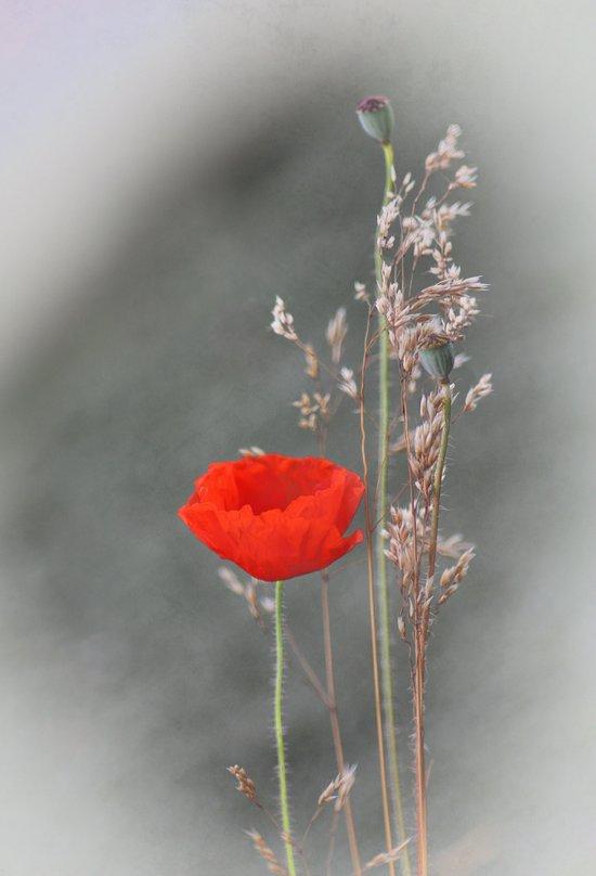 Poppies(quiet). Art Print