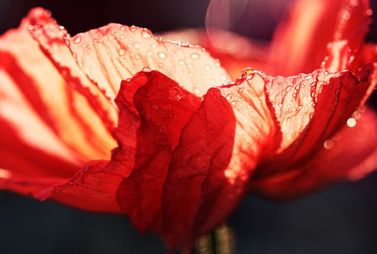 Passion - Expressionistic red poppy macro photo Art Print