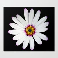 Colour Osteospermum Canvas Print