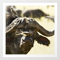 Yellow-billed Oxpeckers, Buphagus africanus, clean a Cape Buffalo, Syncerus caffer Art Print