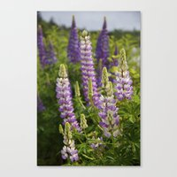 Alaskan Lupines Canvas Print