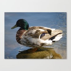 Mallard #1 Canvas Print