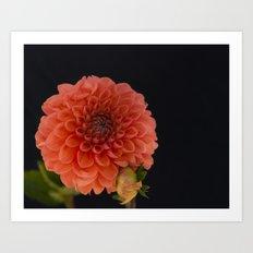 Peach Dahlia Art Print
