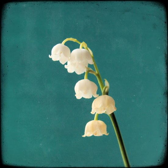 Botanical Flower Photograph - Lilies of the Valley Art Print