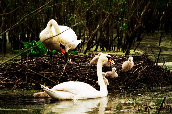 Swans and Cygnets Art Print