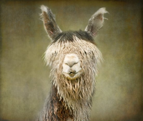 Alpaca with a fringe..! Canvas Print