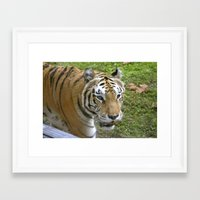 Close Encounters of the Tiger Kind Framed Art Print