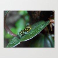 Poison Dart Frog R. Imitator Male Canvas Print