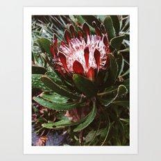 Protea and Raindrops  Art Print