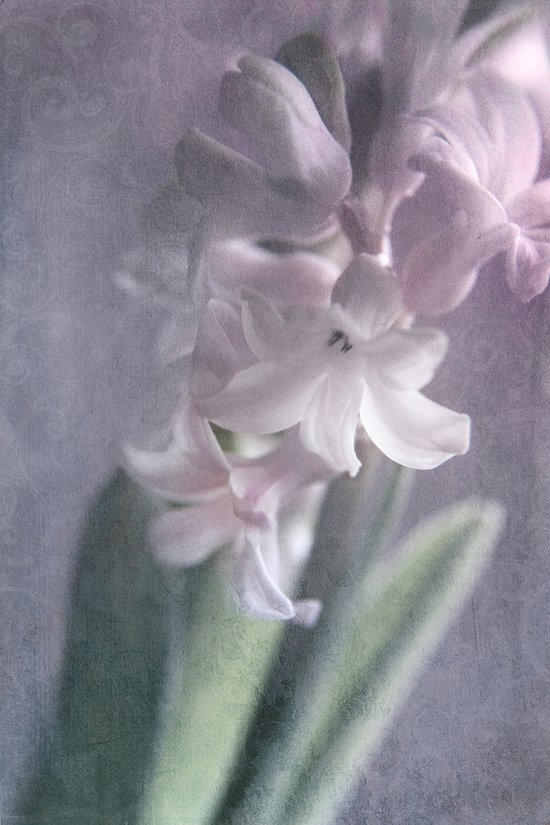 PURPLE HYACINTH Art Print
