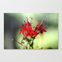 Cardinal Flower Canvas Print