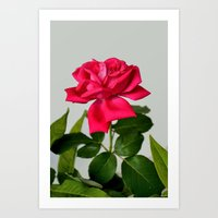 Red Rose Wilting Art Print