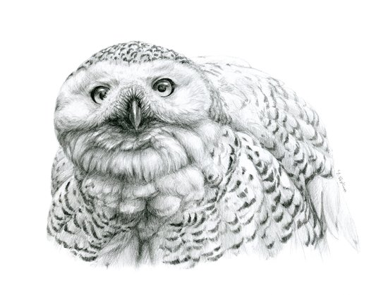 Snowy Owl (Bubo scandiacus) Art Print